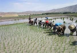 برنج میانه در چالش ماندن و حذف شدن